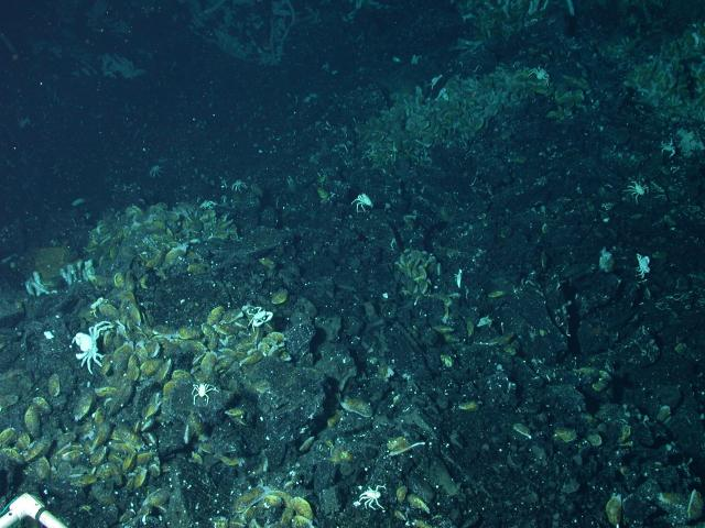 Animals on the seafloor within the Axial Summit Trough (AST) of the EPR (2004)