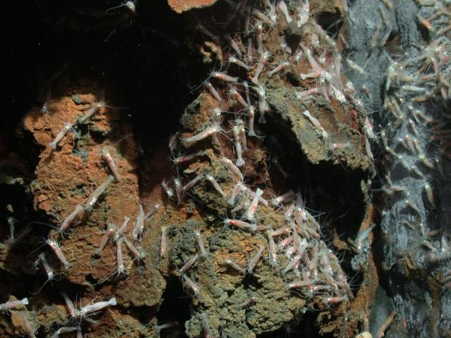 Shrimp on hydrothermal vent at Kilo Moana (2005)