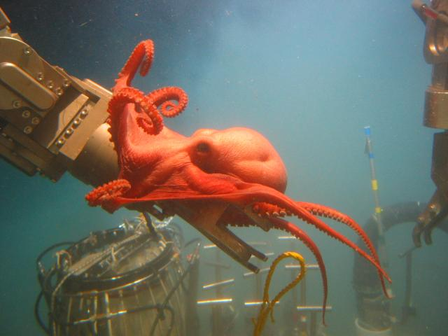 New octopus species in the Gulf of Mexico (2006)