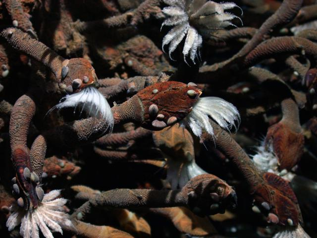 Stalked barnacles at Kilo Moana vent field (2006)